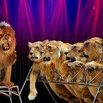 lions--lionnes-(19)__larger